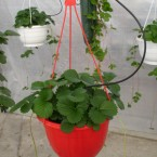 haengende Pflanze